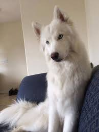 fluffy white husky puppy. Beautiful White Types Of Huskies  Are The Best Dogs Ever Throughout Fluffy White Husky Puppy K
