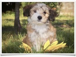 Cavachon Puppy Weight Chart Cavachon Puppies