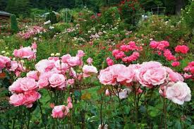 pink roses in the portland rose garden portland oregon usa