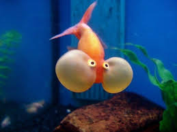 petco goldfish. Simple Goldfish These Sacs Are Very Fragile And Can Burst When Touched By A Sharp  ObjectRedwhite Orange Bubble Eyes Most Common Although Other Colors  For Petco Goldfish