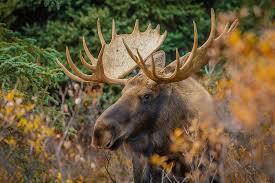 Manitoba Moose Survey Results - Manitoba Wildlife Federation