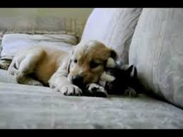 golden retriever puppy and kitten. Simple Puppy Golden Retriever Puppy With Kitten With And I
