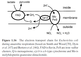 etc in aerobic bacteria jpg238 51 kb