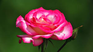 Roses Flowers Wallpapers Beautiful Rose Flowers Wallpapers 52 Images