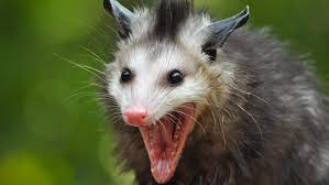 opossum in spanish slang essay urban dictionary esse