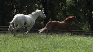 horses galloping in a field. Delighful Galloping Slow Motion  Horses Galloping Through Field Stock Video Footage  Videoblocks To In A G