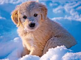 golden retriever puppies playing in snow. Modren Snow Download For Golden Retriever Puppies Playing In Snow D