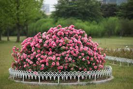 flowers garden. Flowers Garden Plants Nature Summer Rose Park