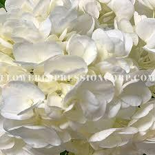 Select Hyd White Shydrangea White Select Flower