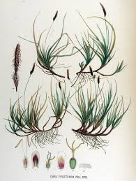 Carex ericetorum - Wikipedia, la enciclopedia libre