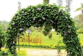 tree facts the bengal clock vine