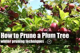 Fruit Tree Pruning  WikipediaCan You Prune Fruit Trees In The Summer