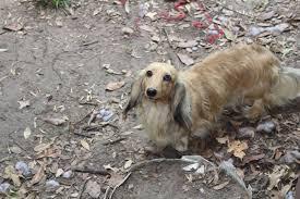 akc mini texas dachshund english cream