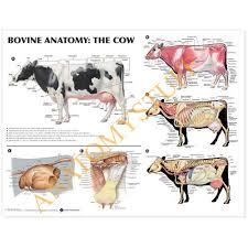 Bovine Anatomy Laminated Chart Poster