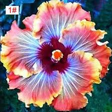 hibiscus flowers amazon com 100pcs japanese hibiscus seeds 5 kinds hibiscus rosa