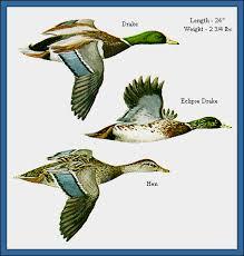 Mallard Duck Waterfowl Identification Guide Ducks At A