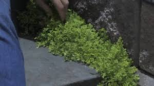 Garden \u0026 Plant Care : How to Grow Moss for Your Garden - YouTube