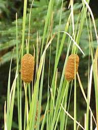 Typha laxmannii PFAF Plant Database