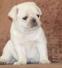 cute baby white pugs.  Pugs Cute White Pug Puppy Intended Baby Pugs Y