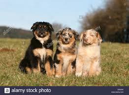 Puppies Black Tri Blue Merle Stockfotos Puppies Black Tri Blue