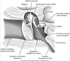 middle ear space showing anatomy of structures inside middle ear