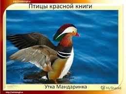 Презентация на тему Птицы красной книги Розовый пеликан Птицы  3 Птицы красной книги Утка Мандаринка