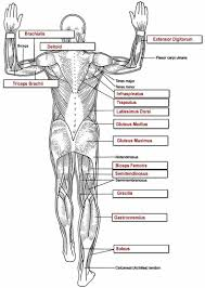 muscles key muscles muscles key and anatomy muscular system
