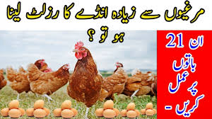21 Tips To Increase The Egg Production Of Your Flock In Urdu