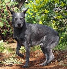 the left side of a black with gray and white australian stumpy tail cattle dog is