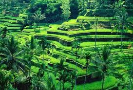 Hasil gambar untuk tegallalang rice terraces bali