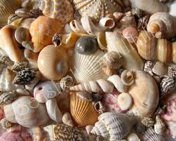 sea shells collection identifying your seashells where to start seashells by millhill