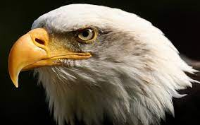 Eagle HD Wallpapers [1600x1000 ...