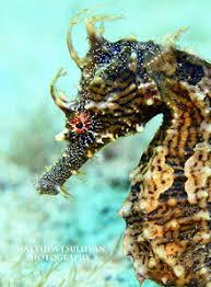 Long Snouted Seahorse Revolvy