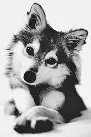 cute baby husky tumblr. Modren Cute Fondos Tumblr Blanco  Buscar Con Google On Cute Baby Husky Tumblr L
