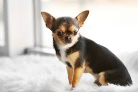 small dog breeds that don t shed pet
