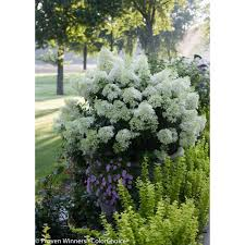 Proven Winners Bobo Hardy Hydrangea Paniculata Live Shrub White - Bobo kitchen