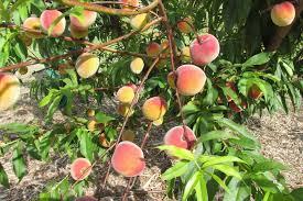 Dwarf Fruit Trees Insteading
