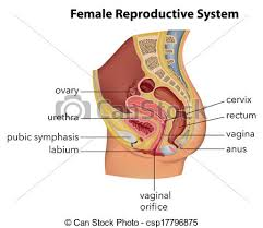 Female Reproductive Chart Female Reproductive System