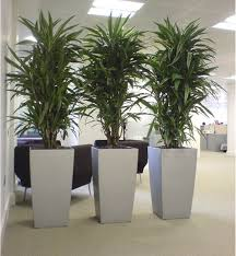 office flower pots. division psychologique et zen cool dracaena plants in silver cubico lechuza planters great for low lighting office flower pots e
