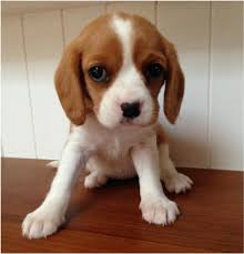 breed beaglier beagle x cavalier king charles spaniel rament friendly playful and inquisitive approx size 30 40cm at the withers