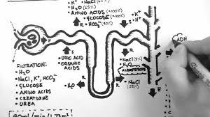 Nephron Function