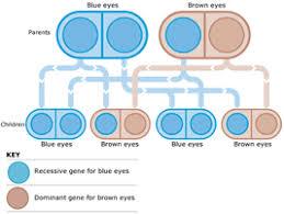 Eye Color Genetics Chart Eye Color Chart Genetics Eye