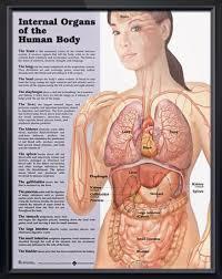 Internal Organs Of The Human Body Chart 20x26 Human Body