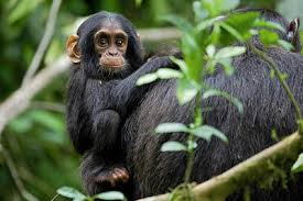 Stunning Baby Monkey Posters Fine Art America