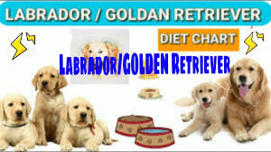 Labrador Diet Chart Golden Retriever Diet Plan In Hind Dog Diet Plan
