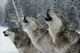 gray wolf pack playing. Modren Playing Wolf  Gray Pack Howl On Gray Wolf Pack Playing O