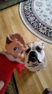 otis the bulldog. image may contain: dog and indoor otis the bulldog w