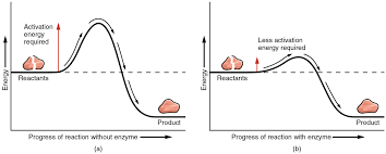 the left panel shows a graph of energy versus progress of reaction in the absence of
