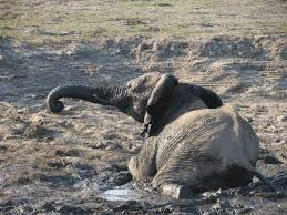 an african elephant photo essay the world wanderer cooling off in the mud