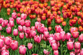 tulip tips the right way to do the skagit valley tulip festival heraldnet